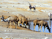 Kudus at waterhole Royalty Free Stock Photography