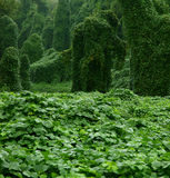 Kudzu Foto de Stock Royalty Free