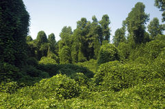 Free Kudzu Royalty Free Stock Photo - 15213715