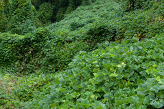 Kudzu Stock Photos
