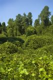 Kudzu Royalty Free Stock Photos