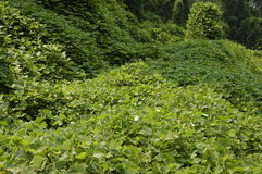 Kudzu Photos stock