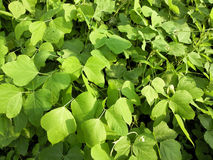 Kudzu. Large, wild, green kudzu leaves Stock Photos