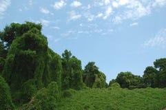 Kudzu & Clouds. Kudzu covering field and trees Royalty Free Stock Photos