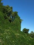 Kudzu everywhere. Kudzu leaves covering tress and everything else Stock Image