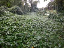 Kudzu Stock Photography