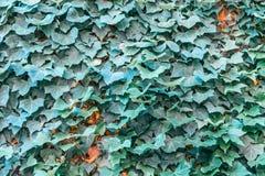 Kudzu liście w ostrości obrazy stock