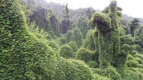 Kudzu. Taking over the Forest Stock Photos