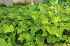 Kudzu vine. Ivy growth in southern Stock Image