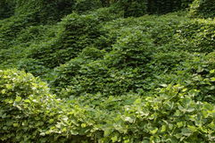 Kudzu vines. The scourge of the southern United States Stock Photo