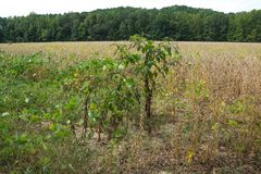 Isolated Poke Sallet Plant In North Mississippi. Stock Photos