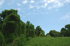 Kudzu y nubes Fotos de archivo libres de regalías