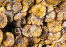 Kuehneromyces mutabilis Royalty Free Stock Photo