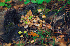 Kuehneromyces mutabilis mushrums Stock Images