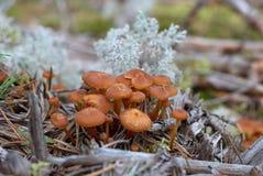 Kuehneromyces-mutabilis Pilze Stockfoto