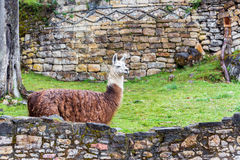 Kuelap Ruins and Llama. View of the ruins of Kuelap with a llama in the foreground of the Chachapoyas culture in northern Peru royalty free stock photo