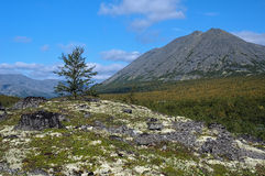Kuelporr Mount and small birch, Khibiny Mountains Royalty Free Stock Image