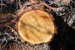 kufer drzewny Fotografia Stock
