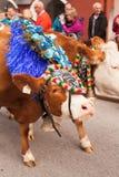 Kufstein/Austria/Tirol-19 Septiembre: El Dr. adornado del ganado de la vaca Fotos de archivo libres de regalías