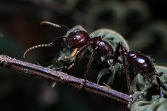 Kugel-Ameise, wirkliches Mörderinsekt mit extrem starkem Stich lizenzfreie stockbilder