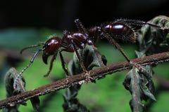 Kugel-Ameise, wirkliches Mörderinsekt mit extrem starkem Stich lizenzfreie stockfotos
