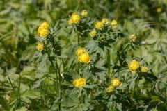 Kugel-Blume im Frühjahr Lizenzfreie Stockbilder