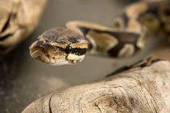 Kugel oder königliche Pythonschlange lizenzfreie stockbilder