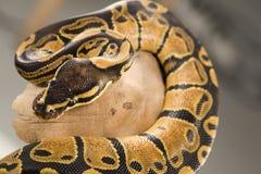 Kugel-Pythonschlange stockbild
