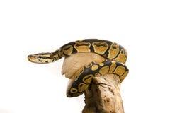 Kugel-Pythonschlange stockfotos