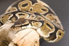 Kugel-Pythonschlange lizenzfreies stockfoto