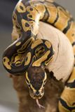 Kugel-Pythonschlange lizenzfreies stockbild