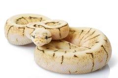 Kugel-Pythonschlange stockbilder