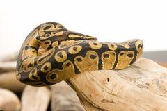 Kugel-Pythonschlange, umwickelt lizenzfreie stockfotografie