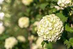 Kugelförmige Blütenstände dekorativer Viburnum Stockfoto