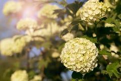Kugelförmige Blütenstände dekorativer Viburnum Stockbild