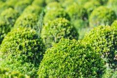Kugelförmige Buchsbaumbüsche schließen Stockfotos