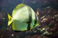 Kugelförmige Hieb-Fische 1 Lizenzfreies Stockbild