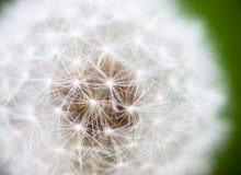 Kugelförmiger Kopf von Samen mit flaumigen Büscheln der Löwenzahnblume Lizenzfreie Stockfotografie