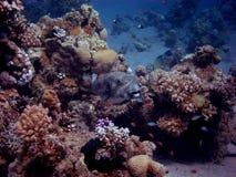 Kugelfisch im riff Royaltyfri Bild