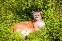 Kuguar Concolor eller puma Royaltyfria Bilder