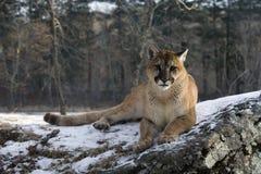 Kuguar eller puma, kuguarconcolor Royaltyfria Bilder