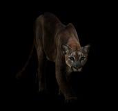 Kuguar i mörkret Fotografering för Bildbyråer