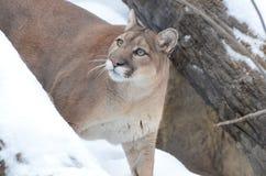 Kuguar i snö Arkivbild