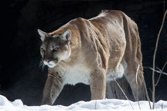 kuguar i snön Royaltyfria Bilder