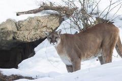 kuguar i snön Arkivbild