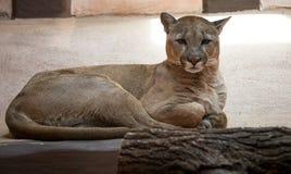 Kuguar lub puma w zoo Obrazy Stock
