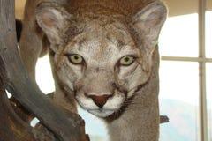 Kuguar na pokazie Obraz Stock