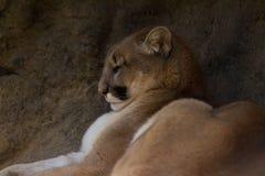 Kuguar pantery Halny lew Fotografia Royalty Free