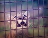 Kuguar som ser med styrka Royaltyfria Bilder