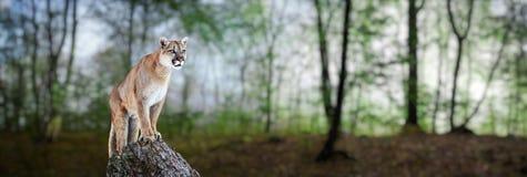 Kuguar w górach, halny lew - puma Zdjęcie Royalty Free